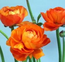 ポーリンオレンジ_2005