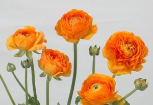 アマンディントゥルーオレンジ