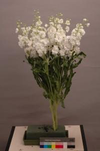 Matthiola Spark White Ⅱ