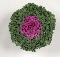 Brassica oleracea F1 Akazukinn No2.