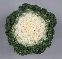 Brassica oleracea F1 Shirozukin No.1