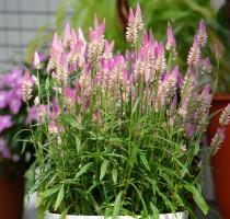 Celosia Summer Lavender