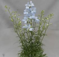 Delphinium Aqua Blue