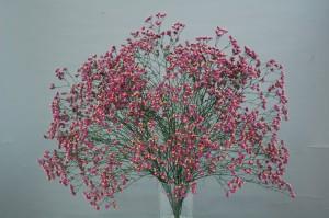 L. sinense Ever Rose