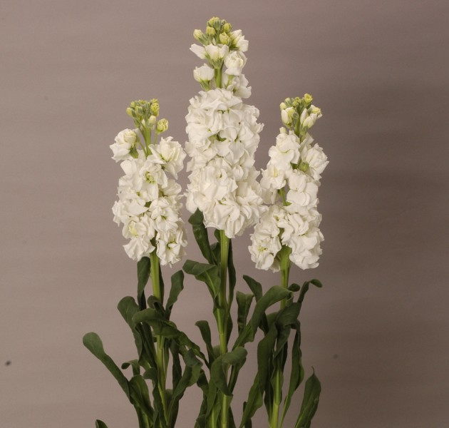 Matthiola Arrow White