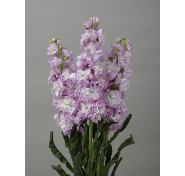 Matthiola Early Iron Marine