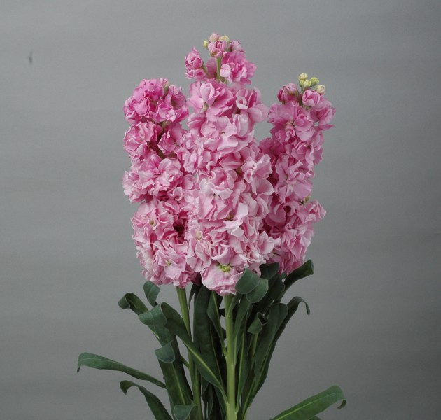 Matthiola Early Iron Pink