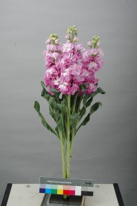 Matthiola Iron Fairy Pink