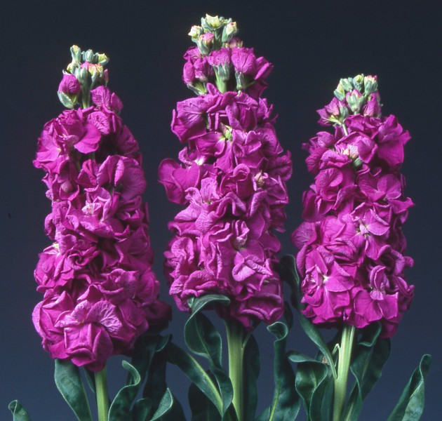 Matthiola Iron Purple