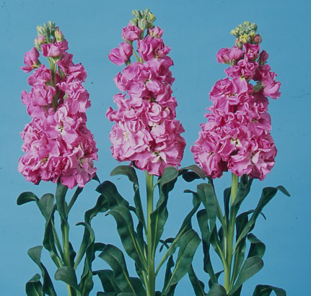 Matthiola Iron Rose Pink