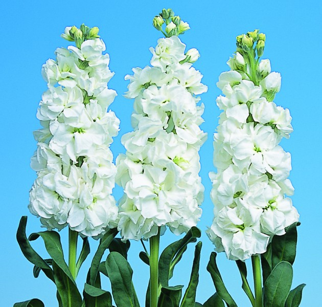 Matthiola Iron White
