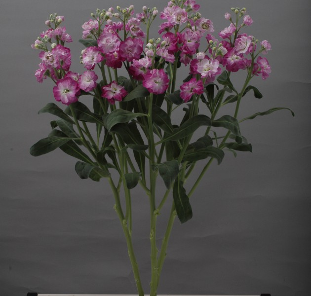 Matthiola Quartet Deep Pink Blush