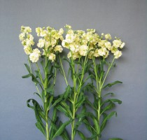 Matthiola Spark Yellow