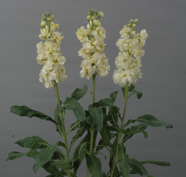 Matthiola Revolution Yellow Ⅱ