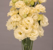 Lisianthus F1 Chaconne Yellow