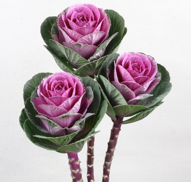 Brassica F1 Bright Rose