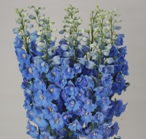 Delphinium F1 Ariel Light Blue