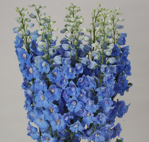 Delphinium F1 Ariel Light Blue