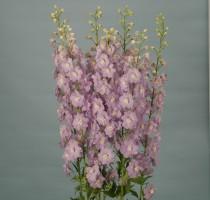 Delphinium F1 Triton Lavender