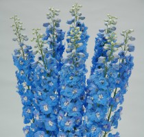 Delphinium F1 Triton Light Blue