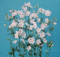 Delphinium Morpho Silky White