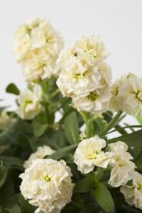 Matthiola Baby Cream