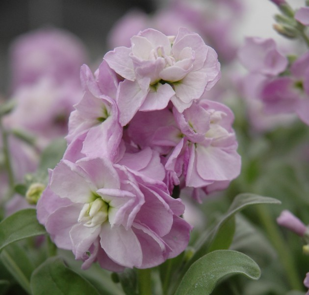 Matthiola Baby Light Blue Blush (UP)