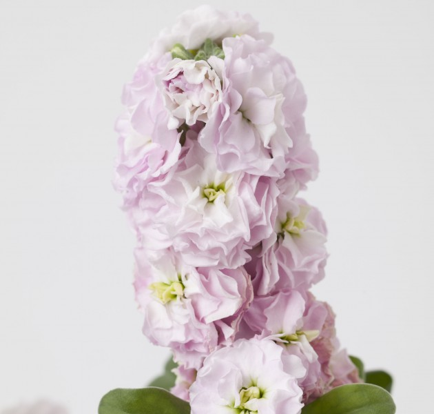 Matthiola Baby Lovely Pink