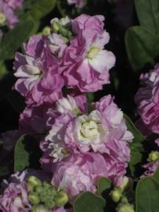 Matthiola Baby Pink Blush