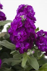 Matthiola Baby Purple