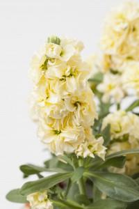 Matthiola Baby Yellow