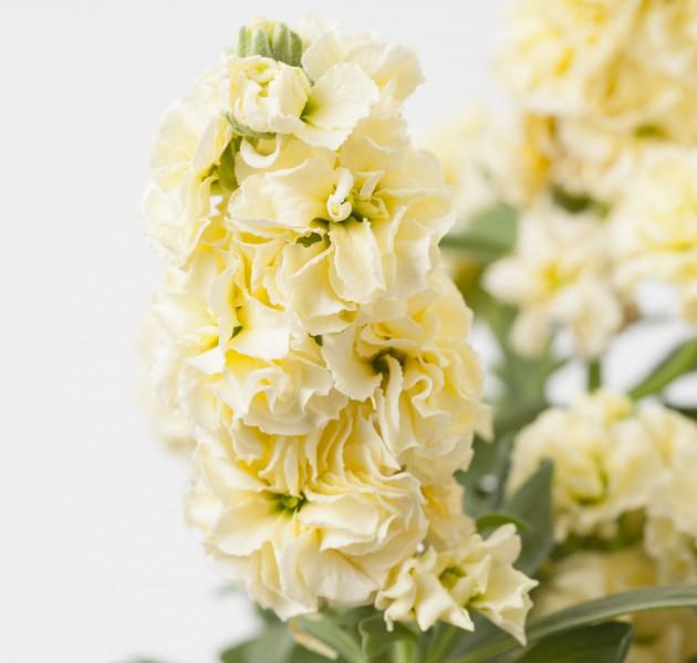 Matthiola Baby Yellow