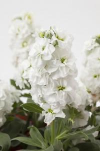 Matthiola (Stock) Baby High Double White