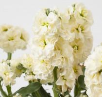 Matthiola (Stock) Baby High Duble Cream