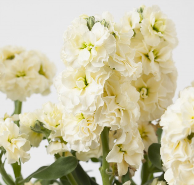 Matthiola (Stock) Baby High Duble Cream
