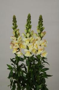 Antirrhinum majus F1 Bridal Light Yellow