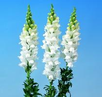 Antirrhinum majus F1 Bridal White