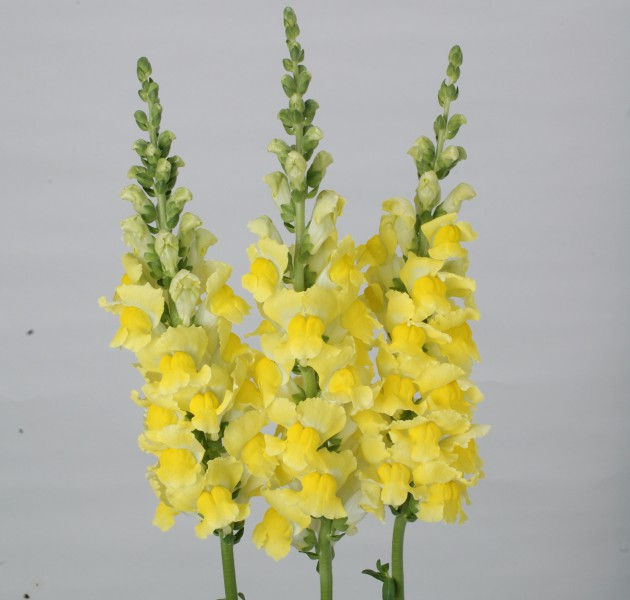 Antirrhinum majus F1 Fair Yellow