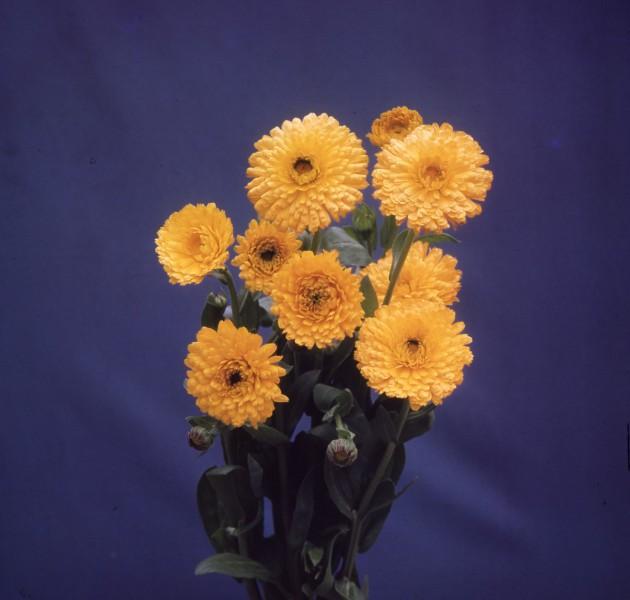 Calendula offcinalis Nakayasu
