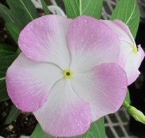 Catharanthus  Cocktailina  F1 Blue Moon