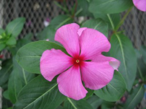 Catharanthus F1 Merry Go Round Grape