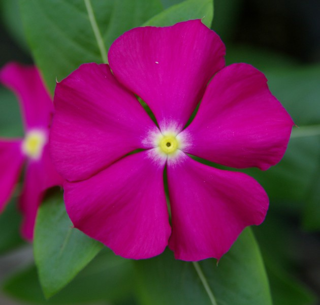 Catharanthus F1 Merry Go Round Purple