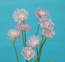 Didiscus caeruleus  Lovely Pink