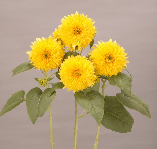 Helianthus annuus Lemonade