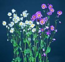 Rhodanthe manglesii Maculata Rose