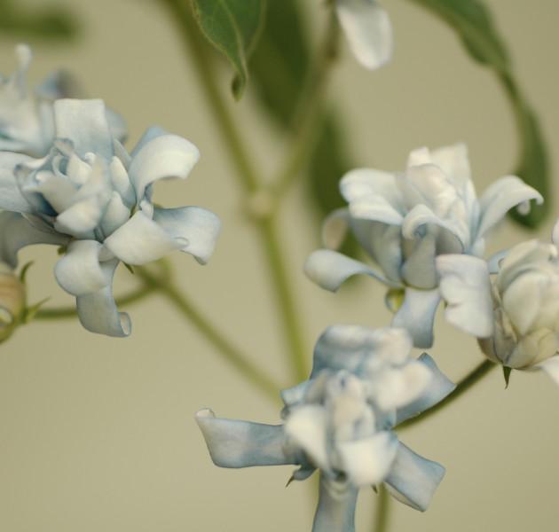 Tweedia Blue Double