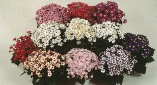 Cineraria (Pericallis × hybrida) for Pot & Bedding Plants