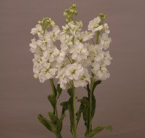 Matthiola Revolution White Ⅱ