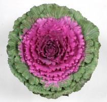 Brassica oleracea F1 Benikagami
