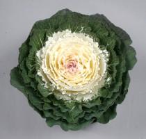 Brassica oleracea F1 Shiraho